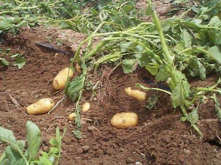 kak-khranit-kartofel
