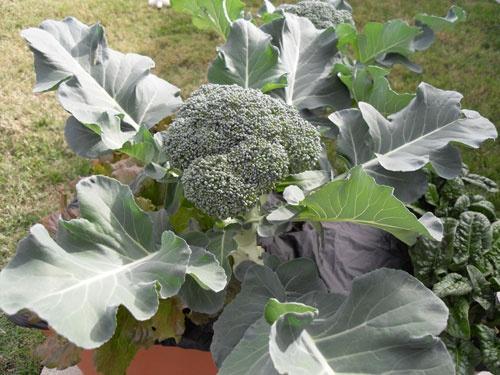 брокколи капуста выращивание и уход фото