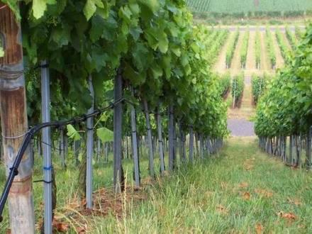 Поливаем виноград