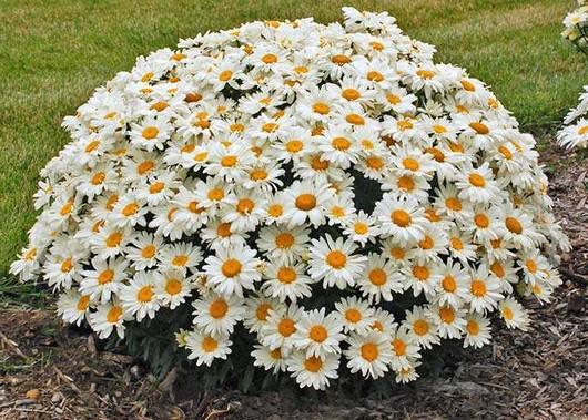 Садовая ромашка крупная фото
