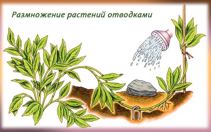 Размножение кизильника отводками
