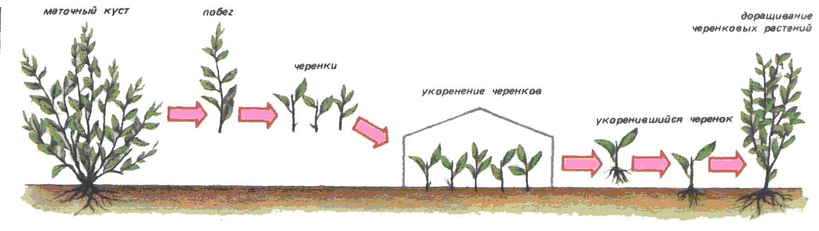 Размножение кизильника