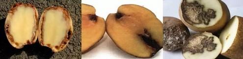 Симптомы бурой бактериальной гнили клубней картофеля