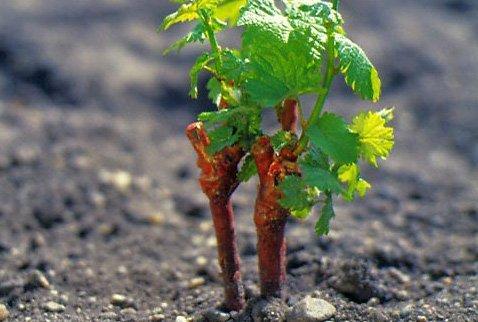 Чубуки винограда