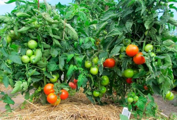 mulchiroanie-tomatov