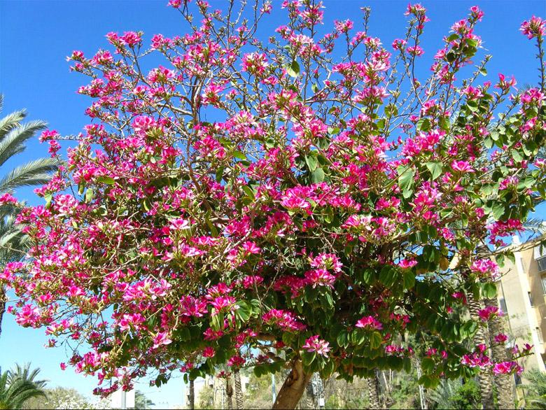 Bauhinia-purpurea Samplehik