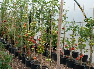 Подвязка помидор фото