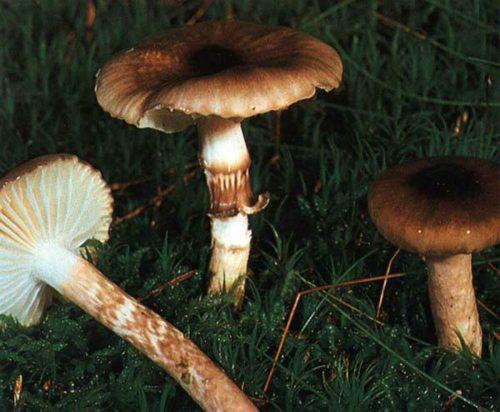 grib-gigrofor