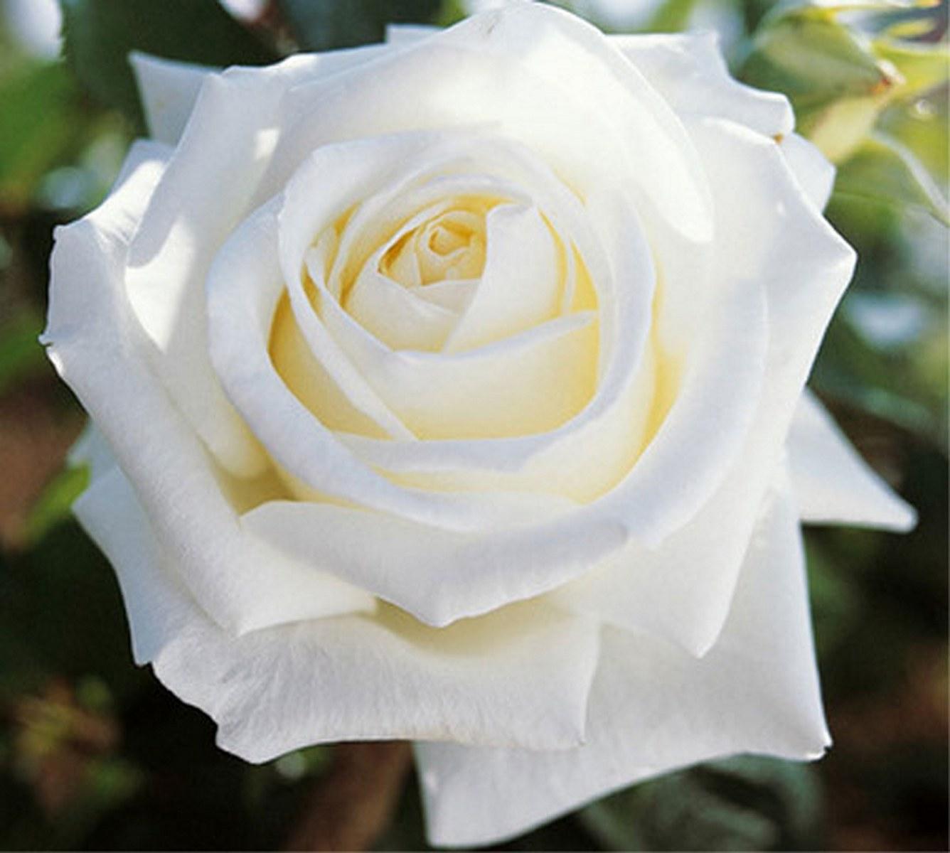 Самая белая роза