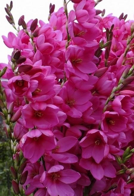 Иксия цветоы фото