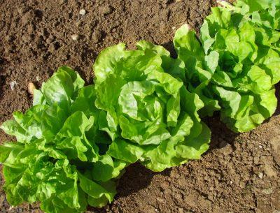gryadka-salata-na-foto