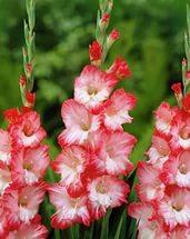 interesnye-sorta-gladiolusov