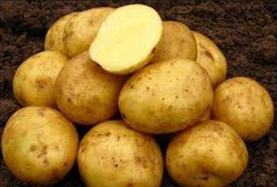 kartofel-nevskiy-na-foto