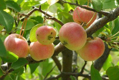 Дикая яблоня на фото