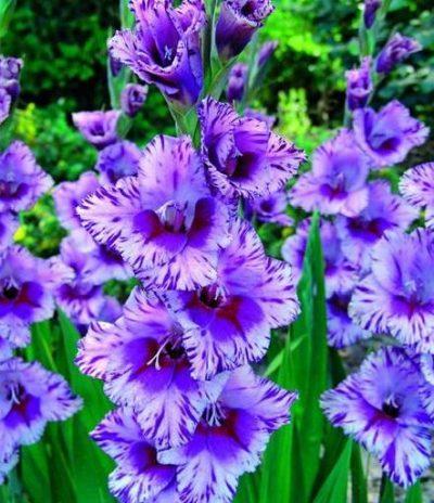 rasprostranennye-sorta-gladiolusov