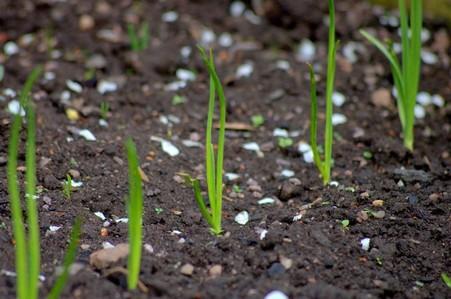 Сроки посадки лука севка весной