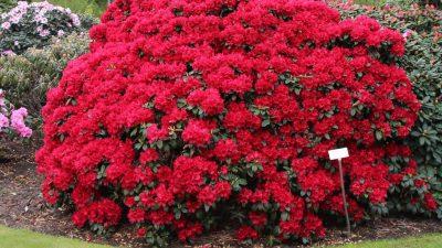 rote Blüten, reich blühend, rotbraune Zeichnung