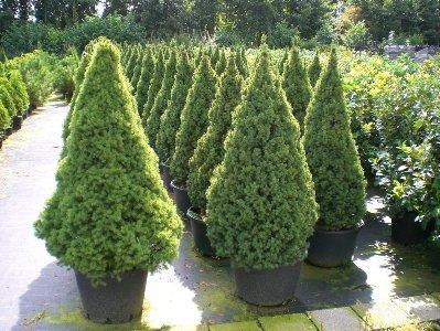 Быстрорастущие деревья для загородного участка