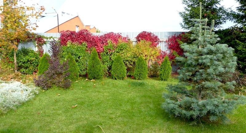 Быстрорастущие деревья для дачи с фото