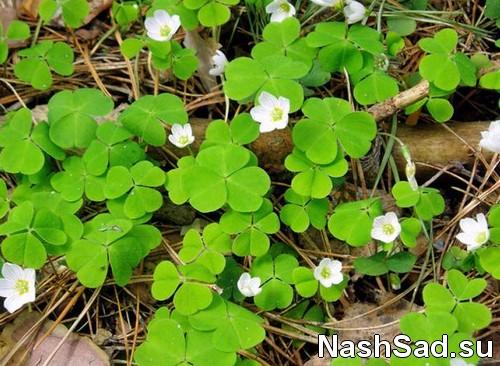 Кислица травянистое растение фото