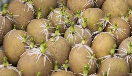 Семена картофеля перед посадкой фото