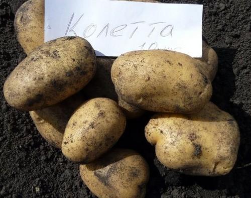 картофель колетте фото