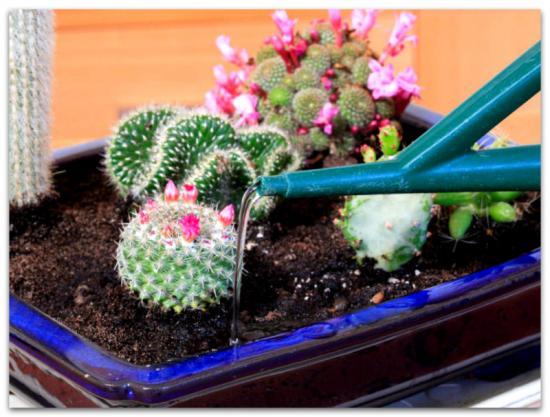 Кактусы уход и выращивание в домашних условиях 42