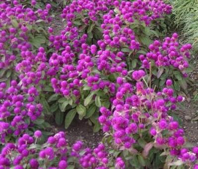 Гомфрена выращивание из семян фото