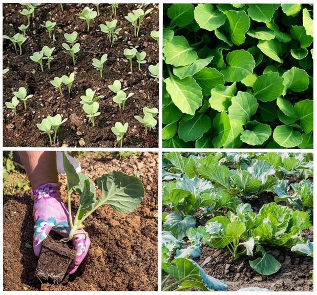 Когда садить капусту брокколи на рассаду на урале 68