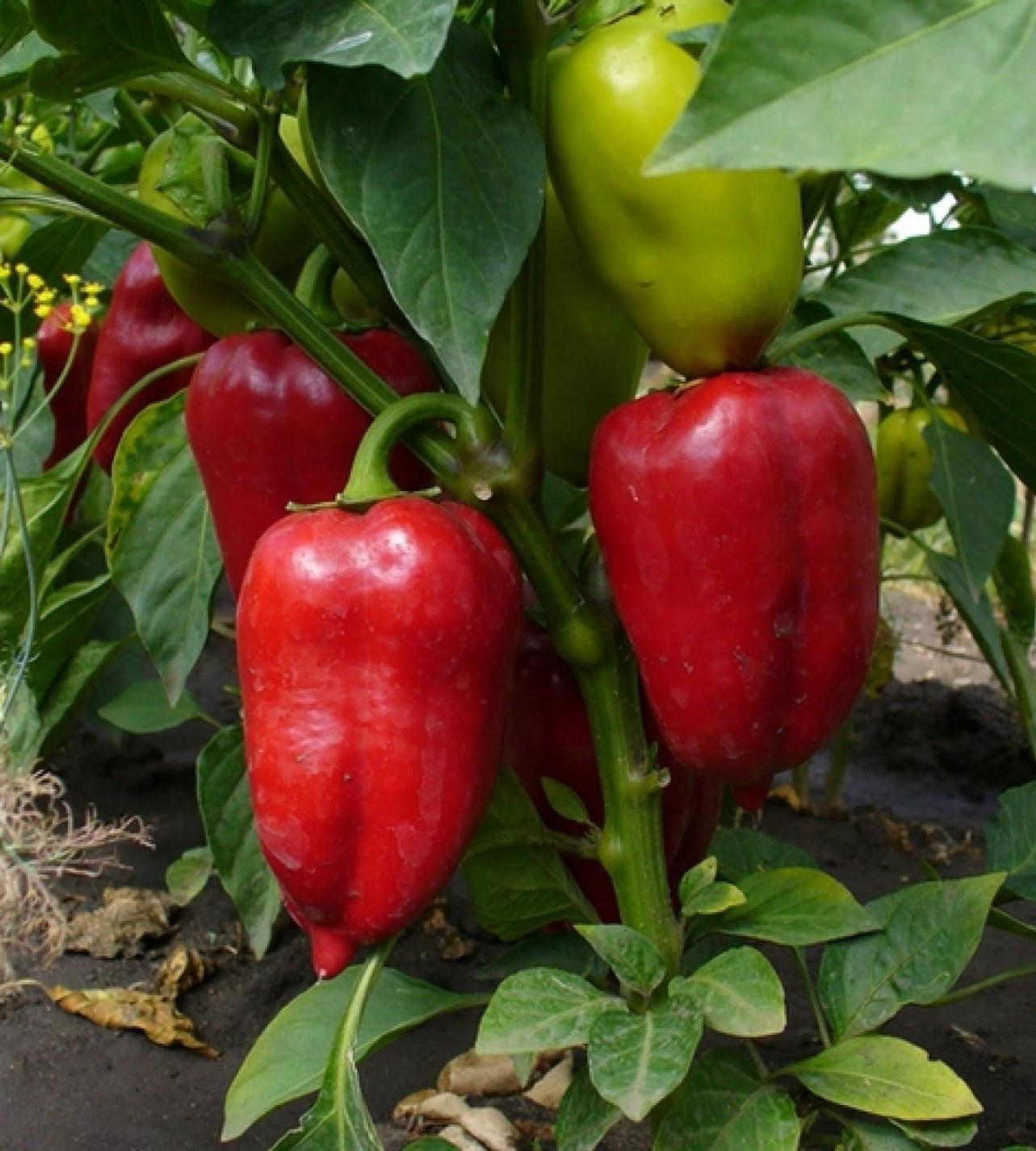 Выращивание и уход за перцем в открытом грунте