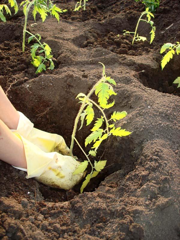 Высаживаем рассадупомидоров в грунт