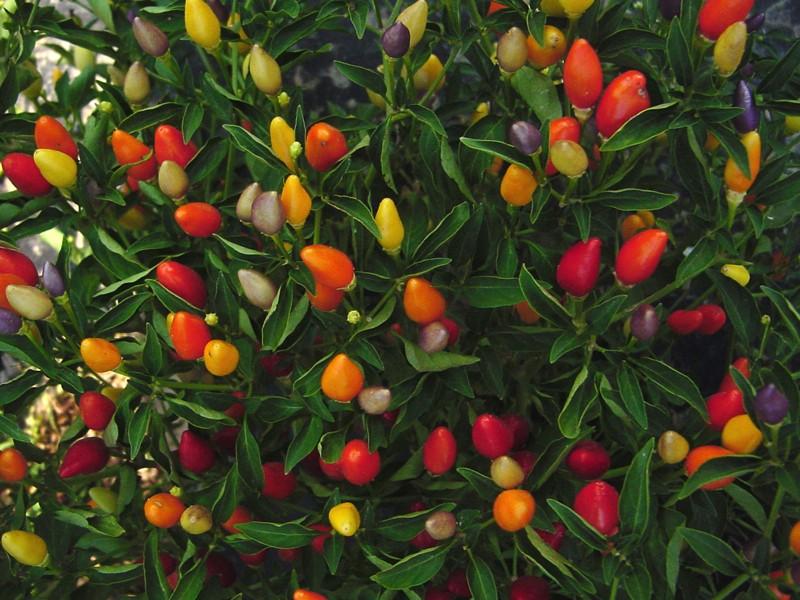 Декоративный перец острый фото