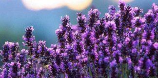 Французская лаванда - изящное и изысканное растение