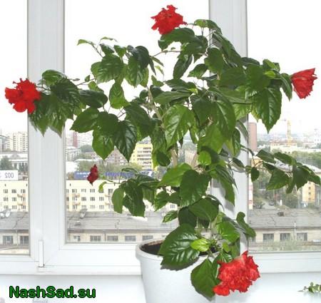 Китайская роза или гибискус как ухаживать
