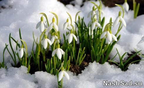 Первые цветы - подснежники фото
