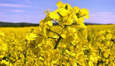 Что такое рапс: описание растения, особенности выращивания, хозяйственное значение