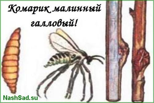 Малинные комарики фото