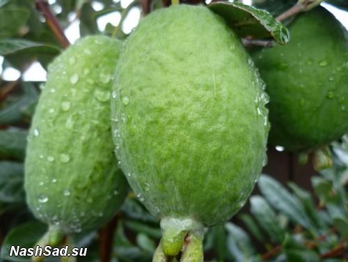 Растение фейхоа плоды фото