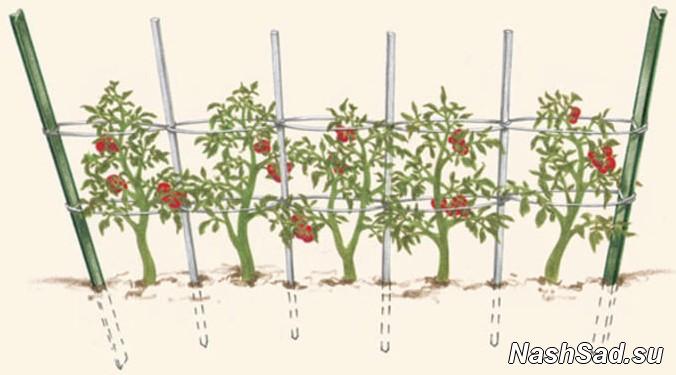 Способ подвязки помидор в теплице