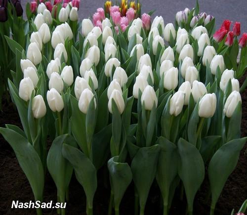 Тюльпаны белые описание