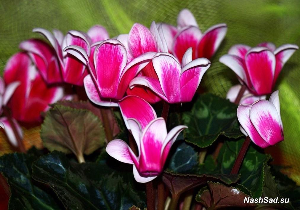 домашний цветок цикламен фото